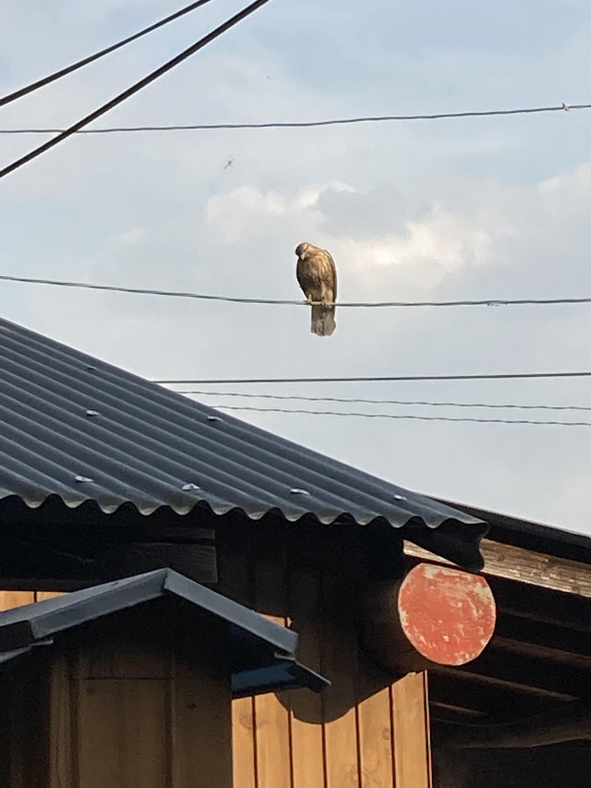 猛禽類のノスリ
