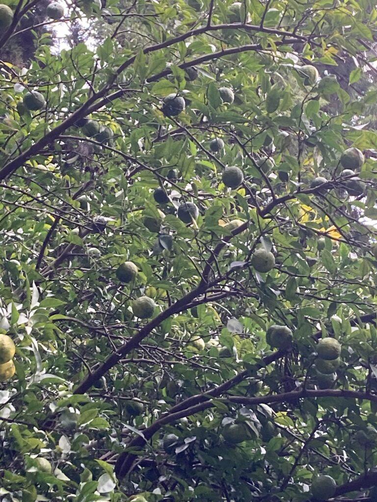 毎年恒例の柚子胡椒を作りました。